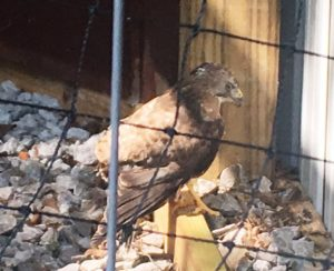 The new aviary at Edgar Evins State Park is now home to this hawk