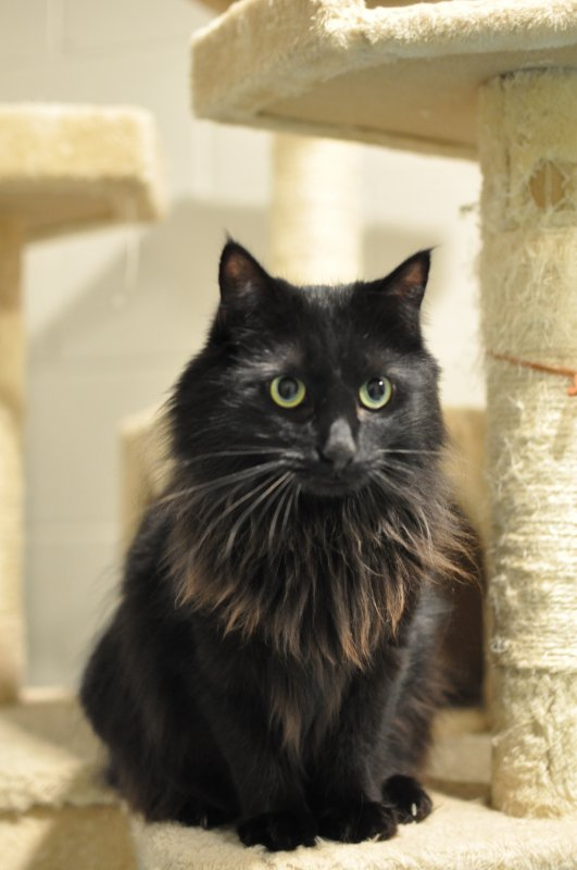 "Meet ""Clarabelle""! This lovable little cat is the feature of the ""Pet of the Week"" segment on WJLE in conjunction with the DeKalb Animal Coalition. Clarabelle is a two and a half year old female Maine Coon mix. Come adopt Clarabelle.. For more information call 615-597-1363. The shelter is open Thursday and Friday from noon until 4 p.m. and Saturday from 10 a.m. until noon."