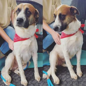 """Hunter is a really cool laid back dog. All he needs to make his canine life complete is a new forever home. This two and a half year old Australian Shepherd mix is the WJLE/DeKalb Animal Shelter featured """"Pet of the Week""""."""