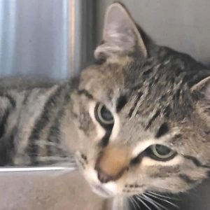 """The DeKalb Animal Shelter is seeking a home for """"Tom"""""""