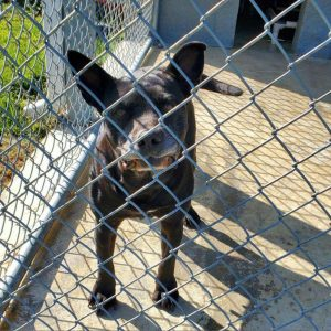 """""""Petunia"""", a mixed Terrier-American Pit Bull, is the WJLE/DeKalb Animal Shelter featured """"Pet of the Week"""" ."""